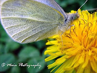 Butterfly on a dandelion flower-closeup