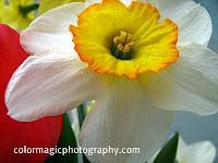 Daffodil-closeup