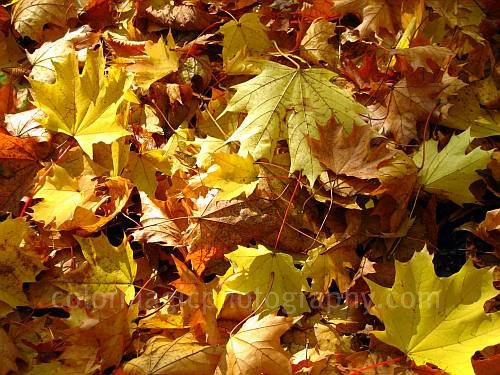 Autumn leaves-golden maple