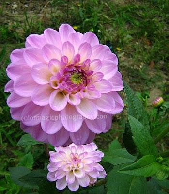 Pink Dahlias in the garden