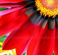 Red gazania pattern close-up