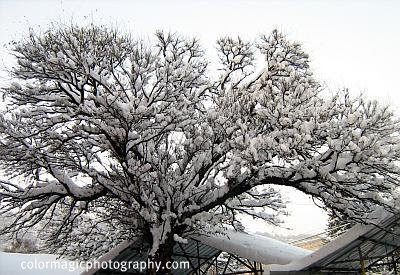 Tree under snoe-winter scene