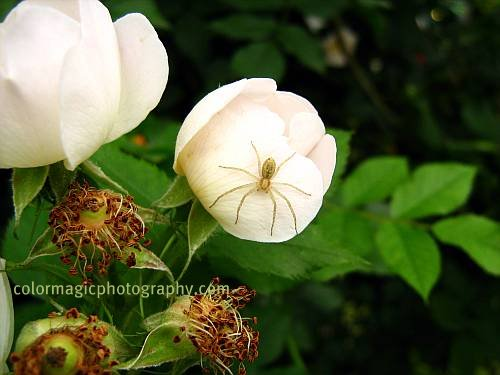 Spider on a wild rose