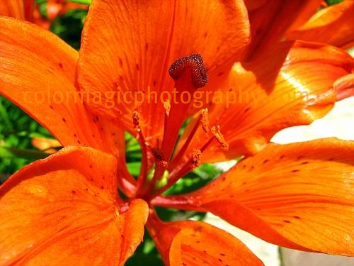 Orange lily-Fire lily close-up