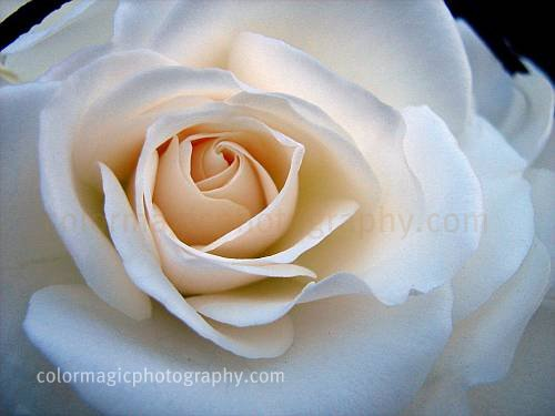 White rose-macro photography