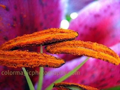 Oriental lily stamens- macro