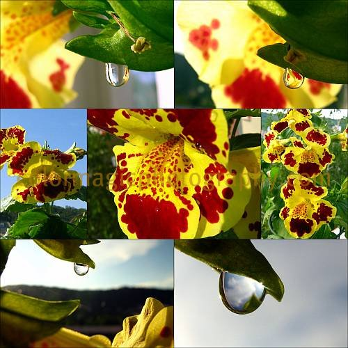 Monkey flower pictures