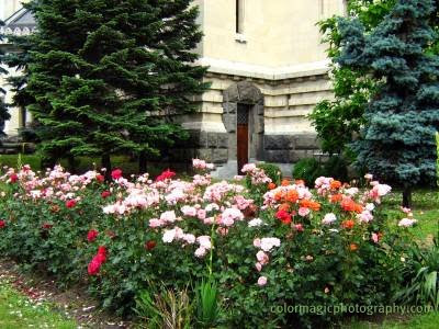 Rose garden near the church