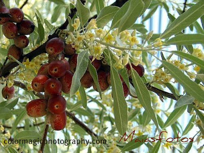 Russian olive seeds and flowers