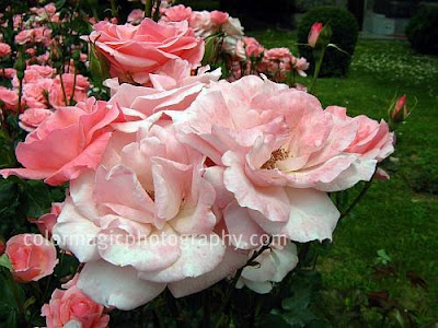 Garden of pink roses