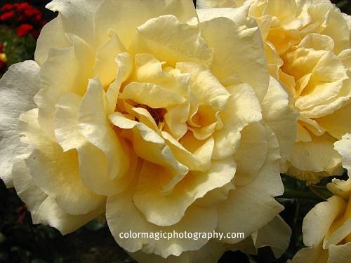 Golden-yellow roses