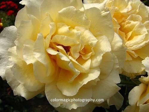 Golden-yellow roses