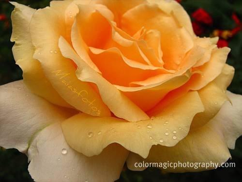 Golden rose-macro