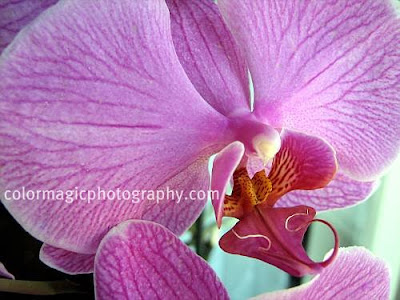Purple orchid macro