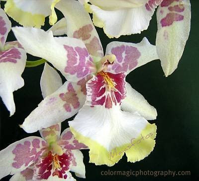 Beallara Orchid-Cambria Tahoma Glacier-close up