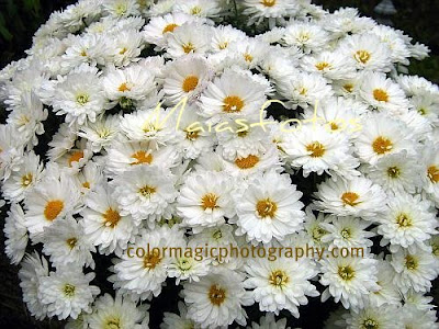 White mums-chrysanthemum photos
