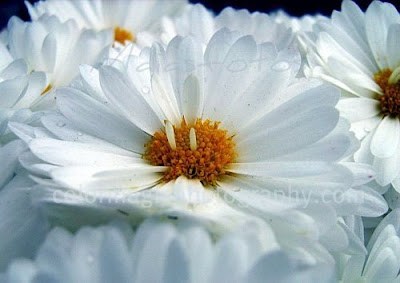 White mums-macro photography