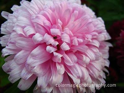 Pink aster head-macro