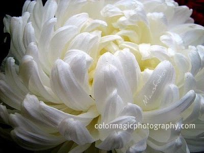 White chrysanthemum flower-macro
