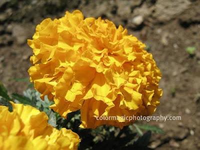 Golden Marigold
