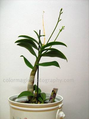 Dendrobium Phalaenopsis-new flower stems