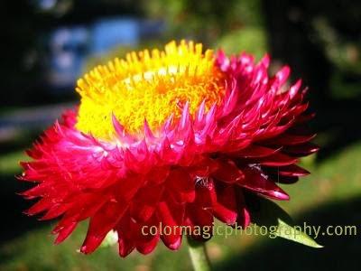 Helichrysum-Strawflower macro