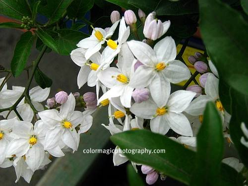 Solanum jasminoides - Jasmine Nightshade