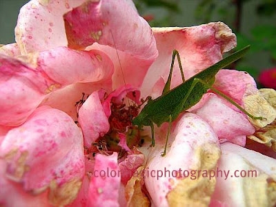 Grasshopper feeding on autumn rose-close up