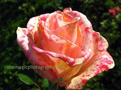 Autumn rose-macro photography