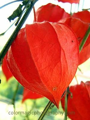 Chinese lantern-macro