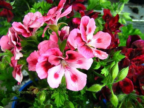 Pink and crimson geraniums