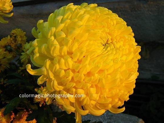 Yellow chrysanthemum-macro photography