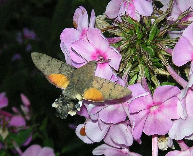 Hummingbird Hawk moth feeding on a plox flower