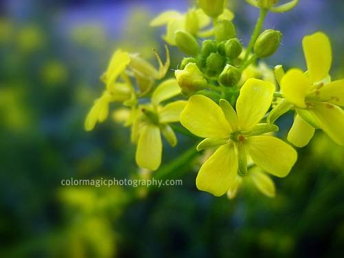 Rapeseed flower (Brassica napus)- in cool tones