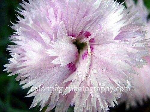 Dianthus caryophyllus-pink