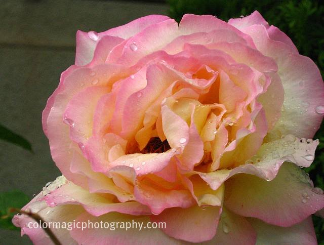 Pink-yellow rose
