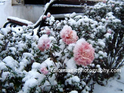 Chrysanthemums in snow