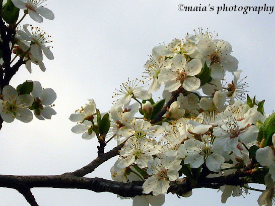 White blossoming twigs of cherry tree