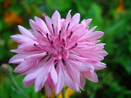 Centaurea cyanus-Cornflower picture