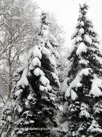Snow covered pine trees-winter scene