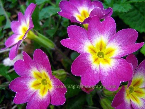 Purple primrose-primula vulgaris