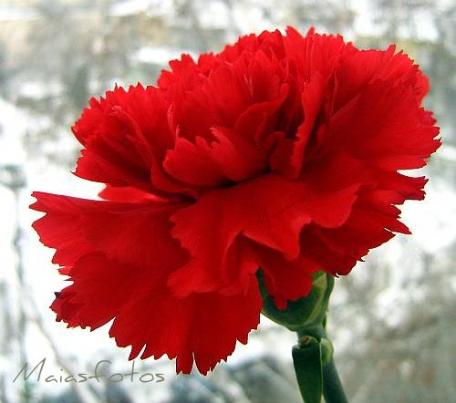 Red carnation-flower picture