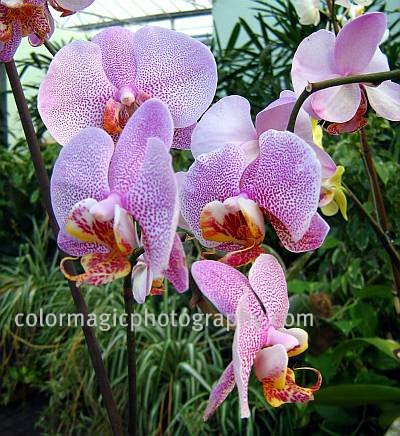 White-purple spotted Phalaenopsis orchid photo