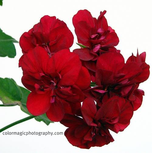 Deep red geranium-closeup