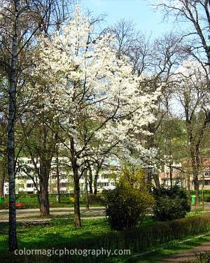 Star magnolia tree-Magnolia stellata