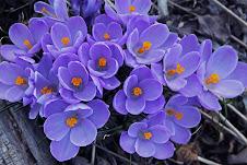 Lavender Crocus, Goochland, VA