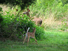 doe &amp; fawn in my yard