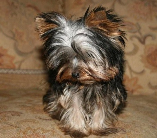 Boy Yorkie Haircuts Images & Pictures - Becuo