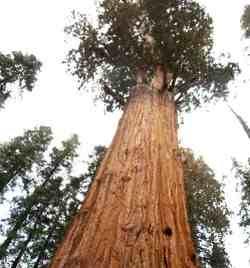 árbol mas alto