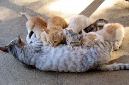 anne kedi ve yavrucukları Kedi